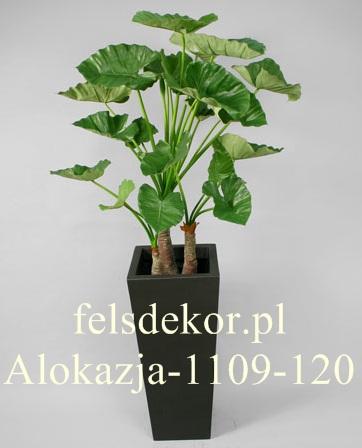 picture/alokazja_kalidora_1109-120.jpg